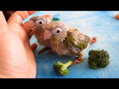 Sweet Baby Conure Parrot 5 – 3 weeks old