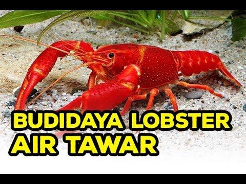 Bisnis Lobster Budidaya Lobster Air Tawar Youtube
