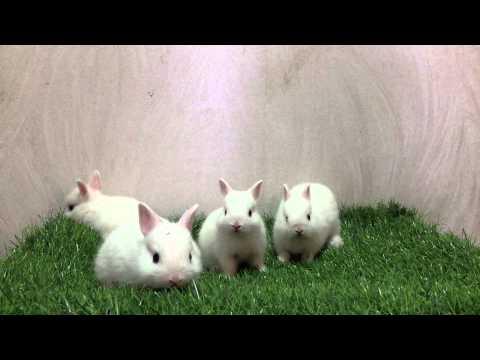 กระต่ายแคระสีขาวตาฟ้า by Allawa Rabbit Farm