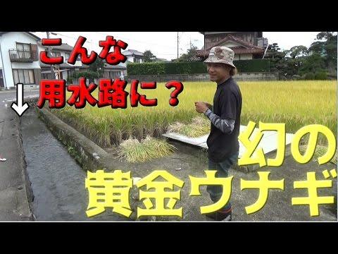 ��撃】用水路�幻�黄金ウナギ��れ��#2