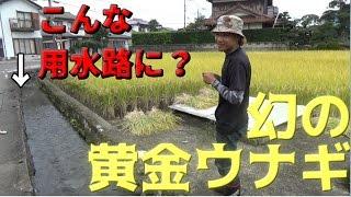 【衝撃】用水路で幻の黄金ウナギが獲れた!#2 thumbnail