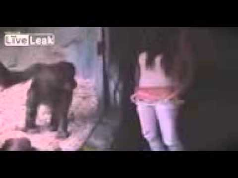 Девушка заворожила шимпанзе