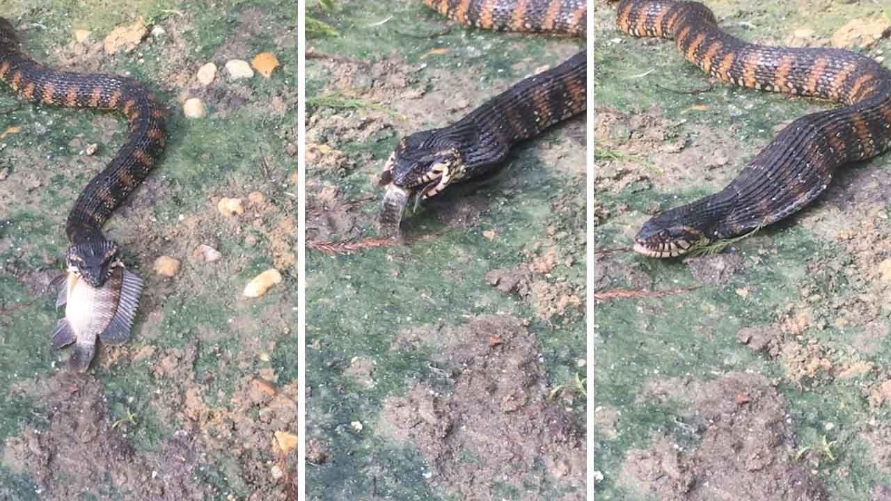 מפחיד: הנחש בולע דג חי בשלימות