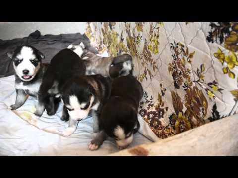 Etapa de crecimiento Husky Siberiano  Versión Extendida