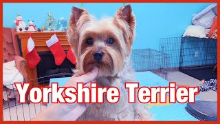 Grooming a Yorkshire terrier's Face| DIY grooming a yorkie's face