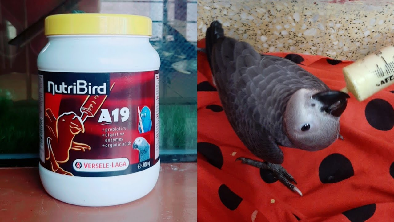 How to handfeed A19 formula to african grey parrot ...