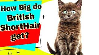 British Shorthair Cats  How Big do British Shorthair Get?