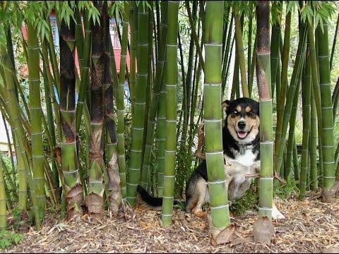 bamboo plants for sale -  bamboo plants for sale dallas