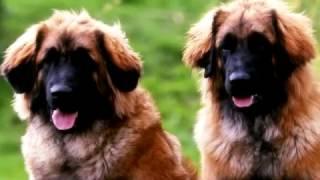 Порода собак. Леонбергер. Крупная и мощная собака. Спокойная и жизнерадостная