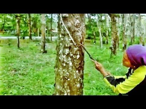 Rubber plantation in Langkawi