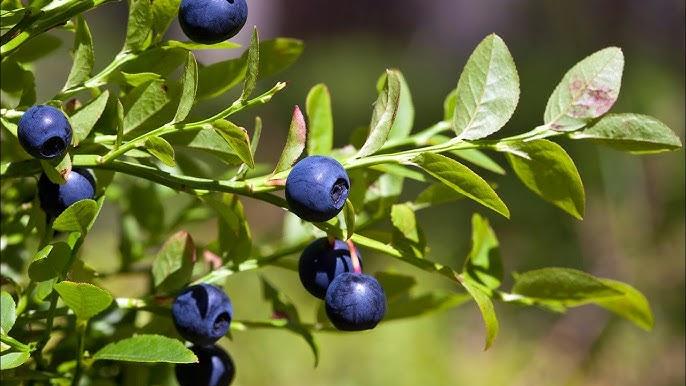إنبات التوت البري الأزرق من البذور مشروع رابح Blueberry Seeds Youtube