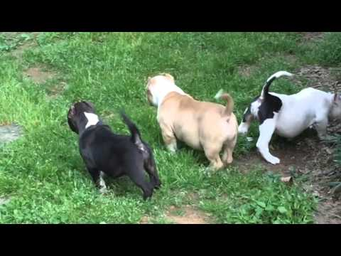 Extreme bully puppies playing at the farm
