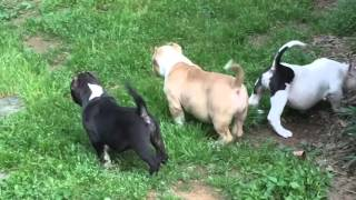 american bully breeding