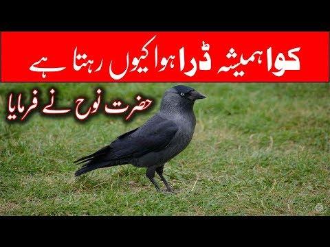 Kawa Dara Howa Kiyu Rehta Hai || Hazrat Nooh Ki Kashti || Story Of Crow || Fani TV