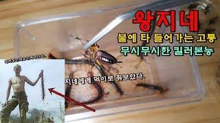 """우리나라 """"왕지네"""" 18cm까지 성장한다. [정브르] / Giant Centipede breeding"""