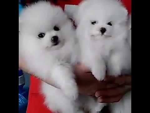Pure White Genuine Teacup Pomeranian Puppies For Sale Uk Usa Youtube
