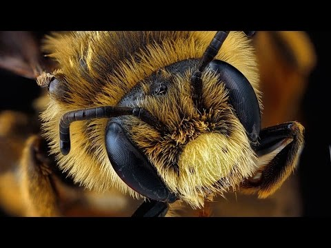 Bee Colony Collapse Addressed By Obama