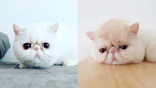 Exotic Shorthair Cat Breed # 1