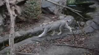 Active lynx