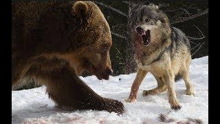 곰 vs 늑대 화난곰 늑대를 죽이다 bear vs wolf fight to death