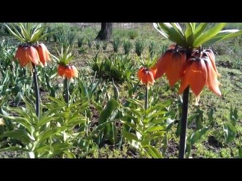 Мелколуковичные растения фото посадка и уход Сайт о