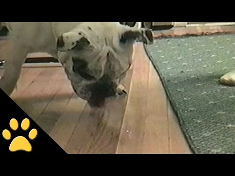 Bulldog Will Stop at Nothing to Catch Laser Pointer
