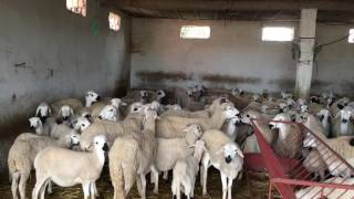 Mouton Sardi  a vendre 0661051517