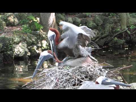 Brown Pelicans Mating on Nest! Homosassa Springs Wildlife State Park, FL