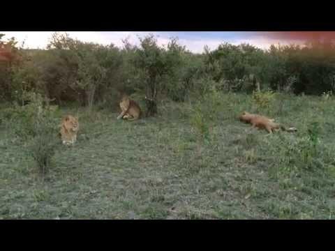 Kenya - Masai Mara - Lion Hunt