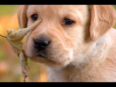 Labrador Retriever: Caratteristiche di razza