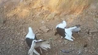Sepet kuyruk ( kırk kuyruk ) Güvercin