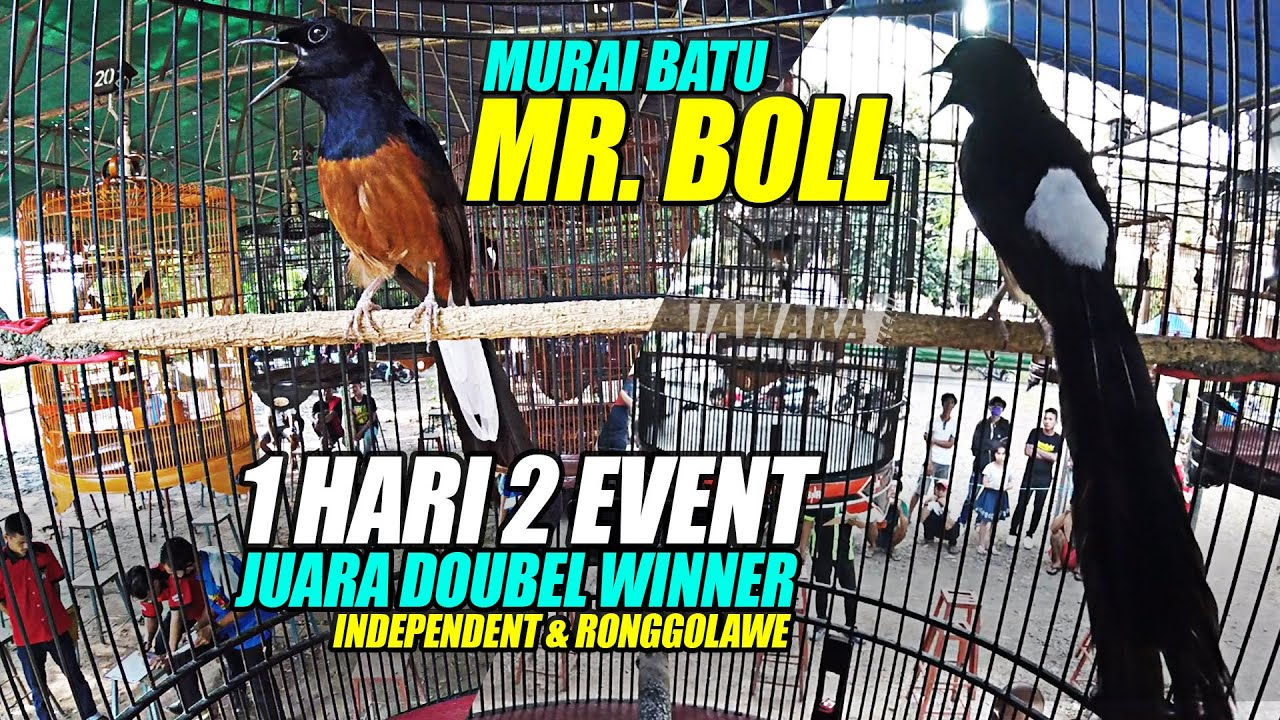 KUALITAS NYATA ! : 1 HARI 2 EVENT SEKALIGUS MURAI BATU MR.BOLL JUARA DOUBLE WINNER || KERJA EDAN