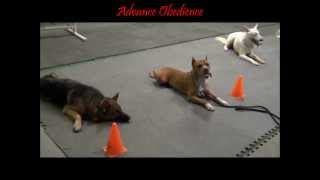 The K9 Training Academy - Advance Obedience