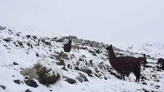 Nevada en Ayopaya web