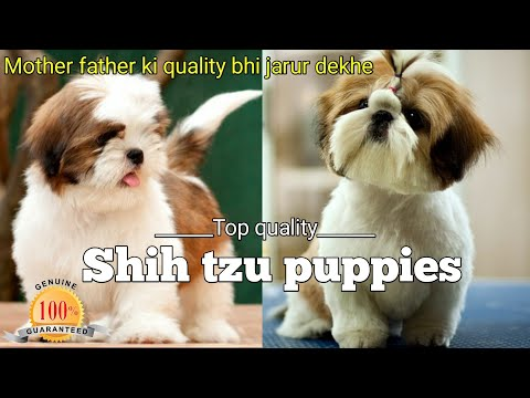 Top class | shih tzu puppies available ! toy dog breed ! delivery available in all over India