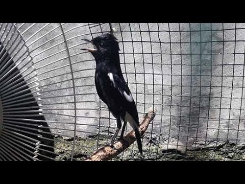 Burung Decu Gacor Ekor Bergetar Sayap Berkibar