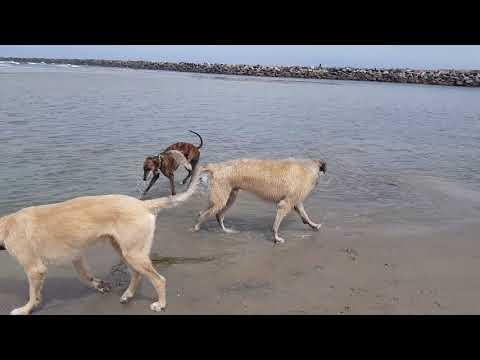 Irish Wolfhound vs Greyhound--Race of the Sight Hounds