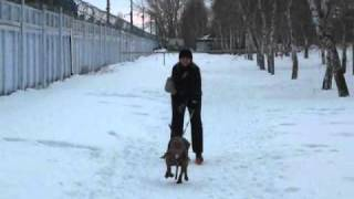 Супер ездовая собака