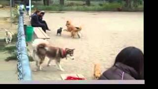 At the Dog Park: Red Alert Behavior Series: Tail Tucked Plus Risks to Small Dogs