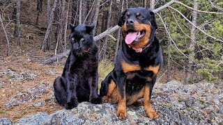 Panther and Rottweiler on a mountain river 🐆  🌲 / Luna does not want to part with a winter fur coat