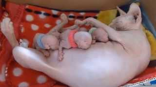 3 Day old sphynx kittens