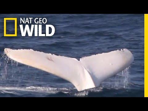 A Rare White Whale Spotted Near Australia   Nat Geo Wild