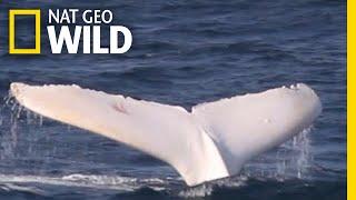A Rare White Whale Spotted Near Australia | Nat Geo Wild