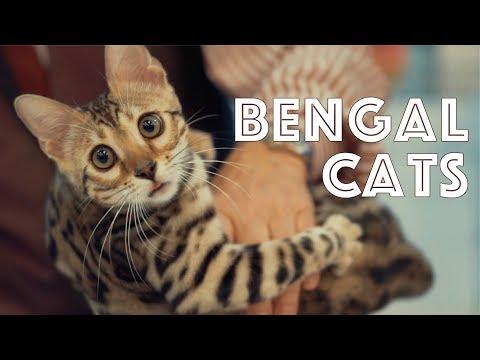 Bengal Cats at a TICA Cat Show