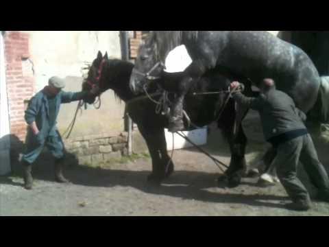 Horse Mating Huge Stallion - YouTube