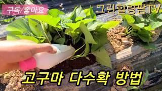 고구마 다수확 방법