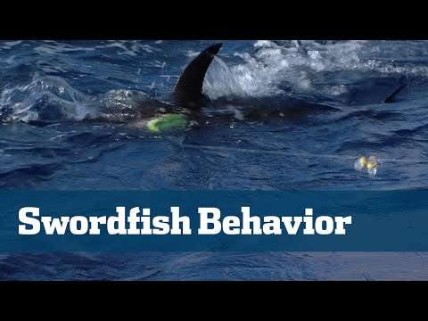 Florida Sport Fishing TV - Swordfish Behavior