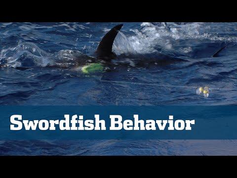 Swordfish; Understanding Swordfish Behavior