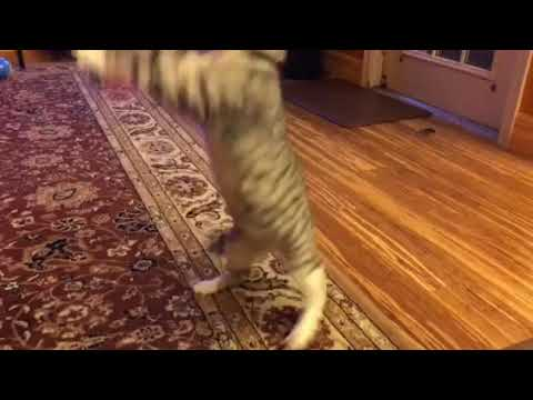Tullie the cat vs feather toy