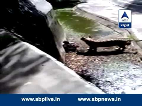 GRAPHIC CONTENT: Tiger kills man inside cage l Full video of hair raising incident